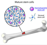 Mature Stem Cells For Broken Bone Healing